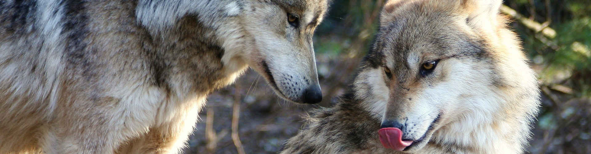 Take ActionSign the Petition for More Wolf Releases