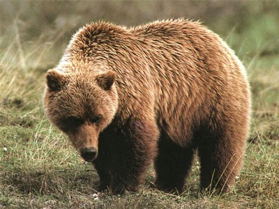 grizzly bear3