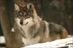 mexican wolf 8 FWS 250x165