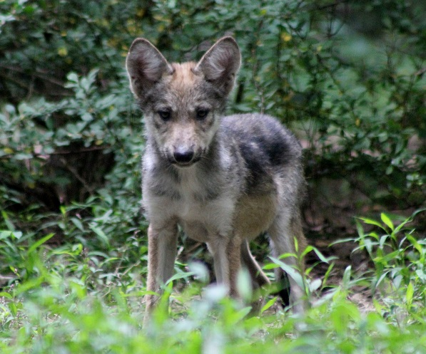 wolf pup standing cropped for envelope